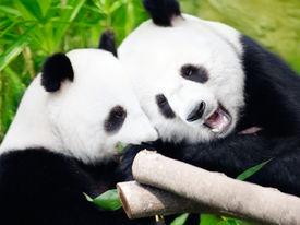stock photo of panda  - Couple of cute giant pandas eating bamboo shoots - JPG