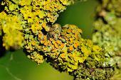 Lichen On Tree Bark Close-up