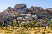 Scenic Golden Rocks  In Joshua Tree National Park