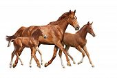 Chestnut Horse And Two Its Foals Running Isolated On White