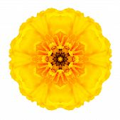 Yellow Concentric Marigold Mandala Flower Isolated On White