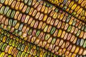 Indian Corn Macro