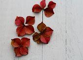 petals from an autumn pink hydrangea