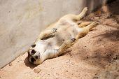 Meerkat In Open Zoo