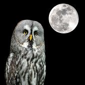 foto of laplander  - Great Grey Owl or Lapland Owl Strix nebulosa and the moon at night - JPG