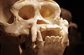 stock photo of orangutan  - Orangutan skull zoology exhibit animals mammals ape.