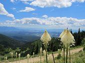 Whitefish Mountain Beargrass