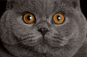 pic of portrait british shorthair cat  - close-up portrait British gray cat with big yellow eyes