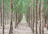 Pine Forest Tree In Thailand
