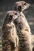 stock photo of meerkats  - A cute pair of Meerkats standing together - JPG