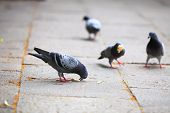 Hungry Pigeons Eating Bread In The Street