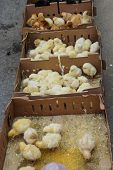 picture of baby chick  - Baby chicks huddle together in the weekly Canakkale market Turkey - JPG