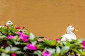 pic of canard  - duck white in flower garden on orange water background - JPG