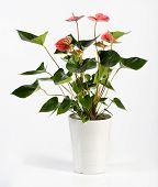 Attractive Anthurium Flower Plant On White Pot