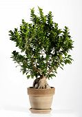image of ginseng  - Fresh Look of Ginseng Ficus Bonsai Tree on Ordinary Brown Pot - JPG