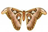 picture of moth larva  - Female attacus atlas moth on white background - JPG
