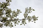 Dogwood Blooming Branches With White Flowers