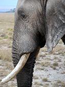 image of tusks  - Wild elephant side profile with eye and tusk - JPG