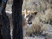 Looking deeply lioness