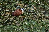 African Jacana In The Reeds