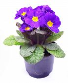 stock photo of primrose  - Beautiful purple primrose in a flowerpot isolated on white - JPG