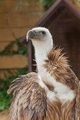 Griffon Vulture, Gyps fulvus. It is a large Old World vulture in the bird of prey family Accipitrida