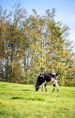 pic of dairy cattle  - Solo Black and White Dairy Cattle Eating Grasses on the Field at Early Morning with Tall Green Trees at the Background.