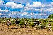 Ostrich Are Running In A Ranch Pen.