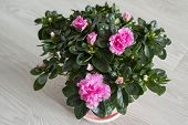 Pink azalea and rose stand on the floor
