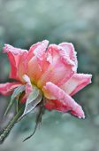 Icicle Pink Rose