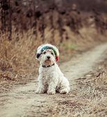 dog in the hat walking in a field in autumn