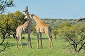 Two Necking Giraffes