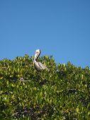 Sitting Pelican