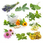 Collection of fresh medicinal herb on white background
