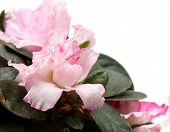 Pink Azalea Isolated On White Background