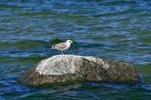Seagull Sits On The Stone