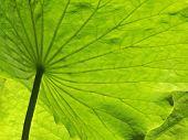 Big Green Lotus Leaf