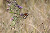 picture of monarch butterfly  - Monarch Butterfly  - JPG