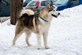 stock photo of malamute  - Alaskan Malamute walks in the snow park - JPG