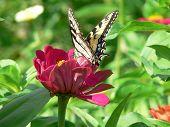 stock photo of flutter  - A butterfly flutters its wings as it lands on a pink zenia in the flower garden in the summer sunshine - JPG