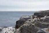 foto of falklands  - Rockhopper Penguins  - JPG
