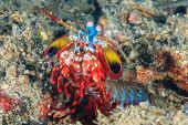 stock photo of biodiversity  - Vividly colored Peacock Mantis Shrimp in a rock hole - JPG