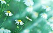 picture of chamomile  - Chamomile  - JPG