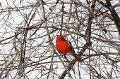 image of cardinals  - Male Northern Cardinal  - JPG