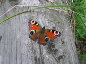 stock photo of spread wings  - Peacock butterfly with spread wings on a log