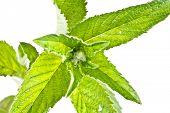 stock photo of nettle  - Nettle plant closeup isolated on white background - JPG