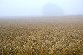 pic of fall-wheat  - summer end wheat field landscape and early morning fog mist - JPG