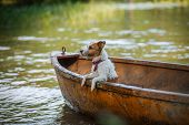 picture of hound dog  - Jack Russell Terrier dog playing in water
