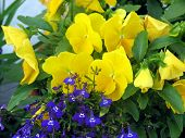 pic of lobelia  - yellow pansies with sapphire lobelia - JPG