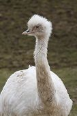 stock photo of greater  - A portrait of a white greater rhea - JPG